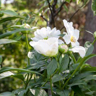 Paeonia 'White Innocence'