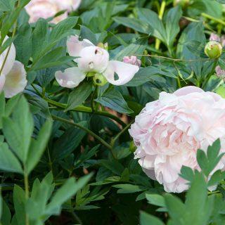 Paeonia lactiflora 'Mrs Franklin D. Roosevelt'