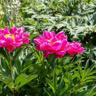 Paeonia lactiflora 'Karl Rosenfield' - luktpion