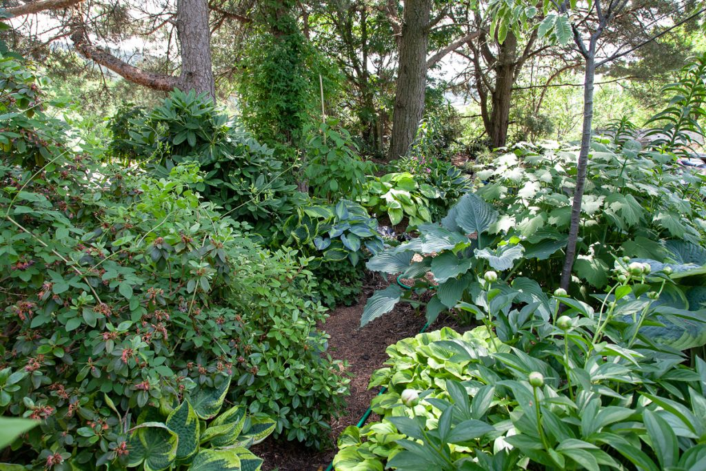 Lunden, woodland, hosta