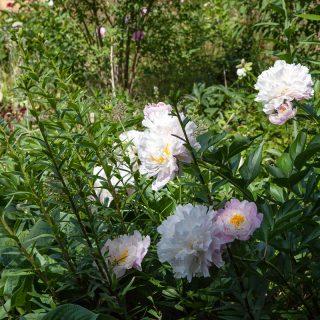 Paeonia lactiflora 'Lady Alexandra Duff', luktpion 'Lady Alexandra Duff'