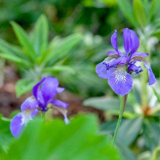 Iris sibirica 'Little Sister'