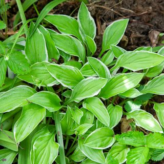 Small Hosta 'Iced Lemon'