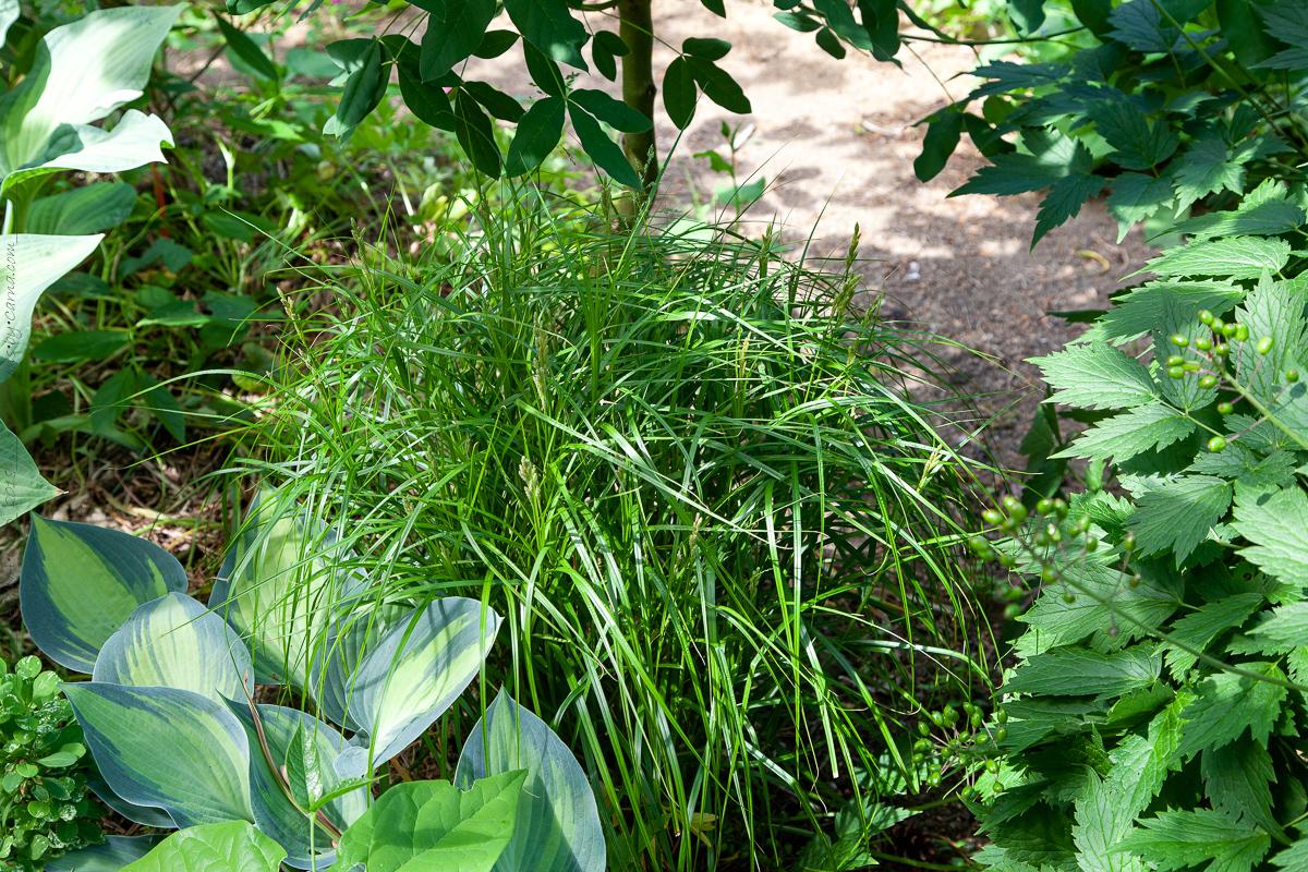 Carex muskingumensis - palmstarr