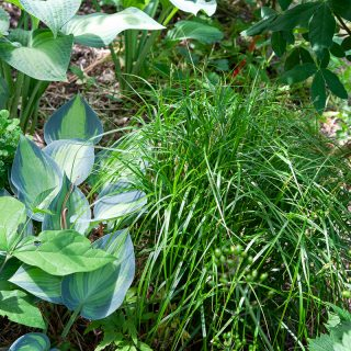 Carex muskingumensis, palmstarr