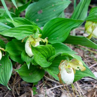 Orkidéer - Cypripedium 'Kentucky'