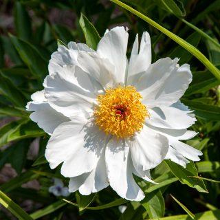 Paeonia lactiflora 'Le Jour'