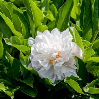 Paeonia lactiflora 'Chiffon Parfait' - luktpion