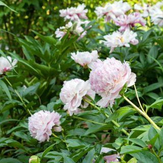 Paeonia lactiflora 'Angel Cheeks' - luktpion