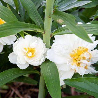 Paeonia lactiflora 'Fringed Ivory' - luktpion