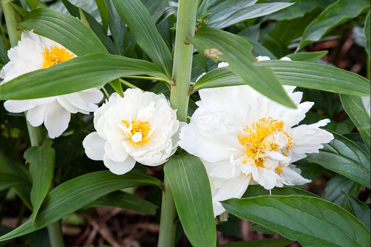 Paeonia lactiflora 'Fringed Ivory'