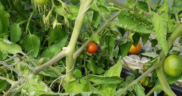 Mogna tomater och magnifika hostor
