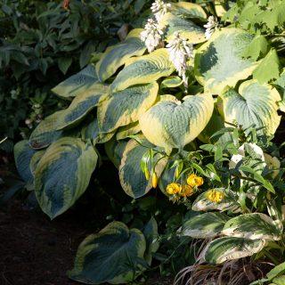 Lilium lijiangense - asiaticum