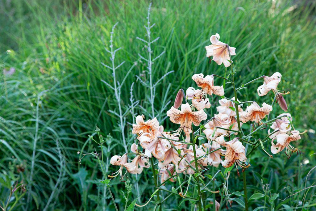 Liljesådd - Lilium 'Tiger Babies'