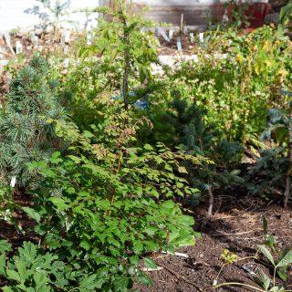 Kinesträd - Koelreuteria paniculata