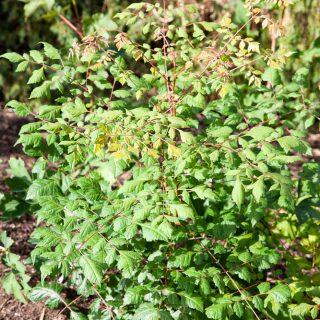Koelreuteria paniculata - kinesträd