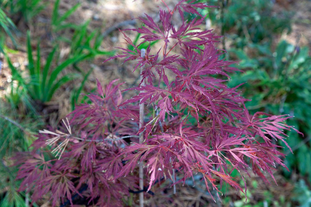 Acer palmatum 'Lionheart, japansk lönn 'Lionheart'