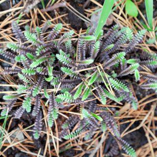 Leptinella squalida 'Platt's Black' - krypkotula