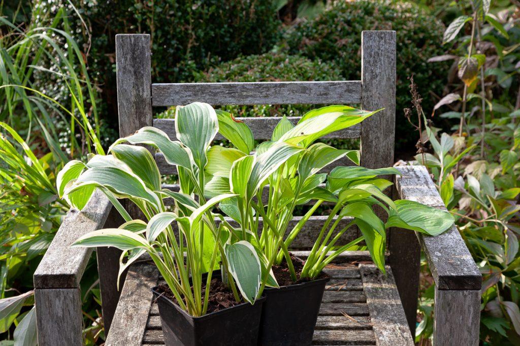 Hosta i väntan på plantering