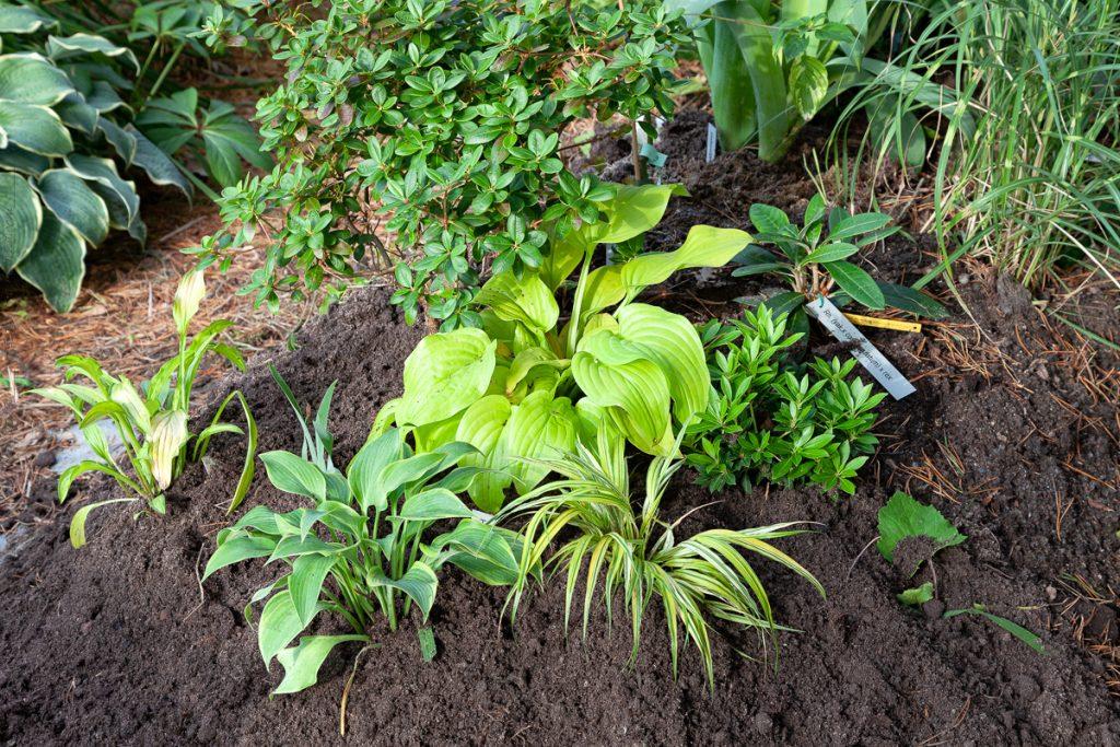 Kvarteret månskensdrömmar - planterat hostor och gräs