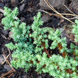 Juniperus procumbens 'Nana', japansk krypen