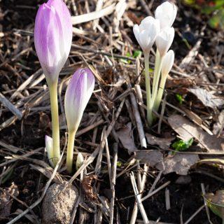 Colchicum 'Lilac Wonder' - tidlösa