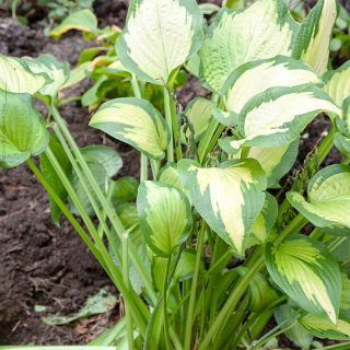 Hosta 'Paul's Glory'