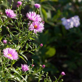 Symphyotrichum novae-angliae 'Abendsonne'? - luktaster