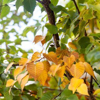 Betula ermanii - kamtjatkabjörk