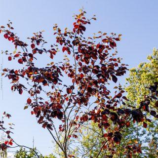 Betula pubescens 'Rubra' - finsk rödbjörk