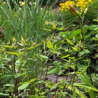 Eurybia divaricata, syn. Aster divaricatus - vit skogsaster