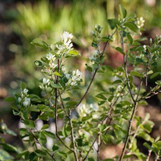 Amelanchier alnifolia v. pumila - liten bärhäggmispel