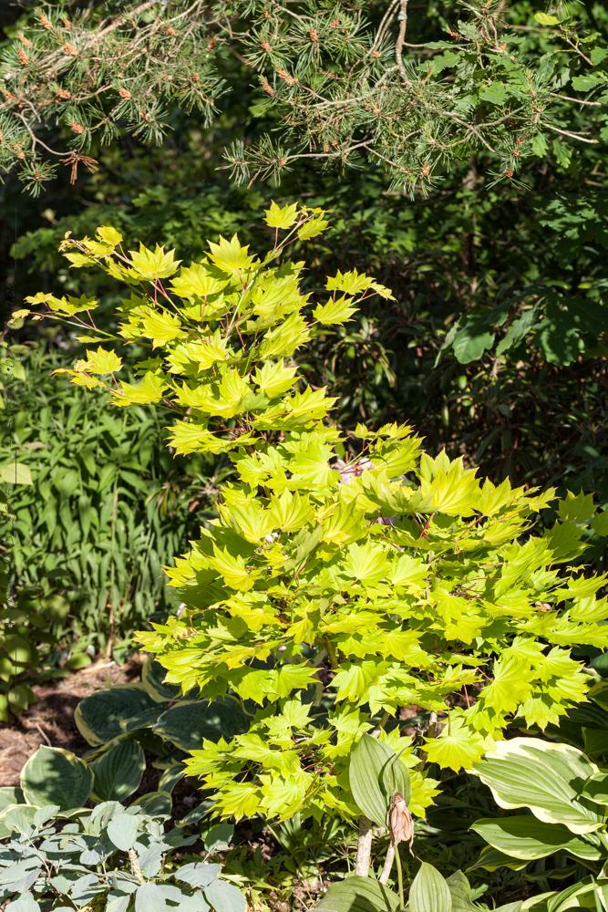 Acer shirasawanum 'Aureum' - japansk gyllenlönn