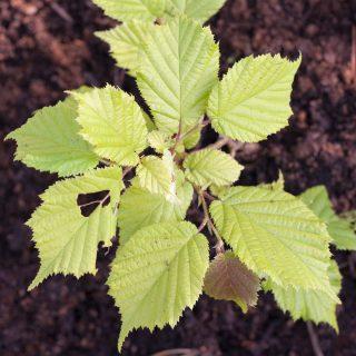 Corylus avellana 'Aurea' - gulbladig hassel