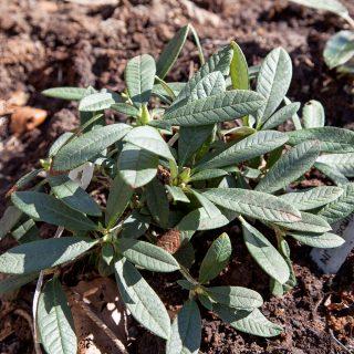 Rhododendron farinosum