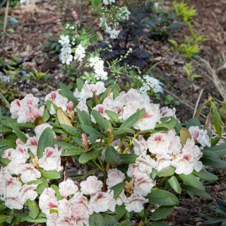 Rhododendron 'Princess Maxima'