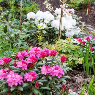 Rhododendron Yakushimanum-grp 'Kalinka