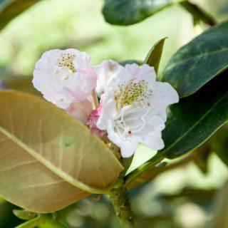 Rhododendron brachycarpum - fujirododendron?