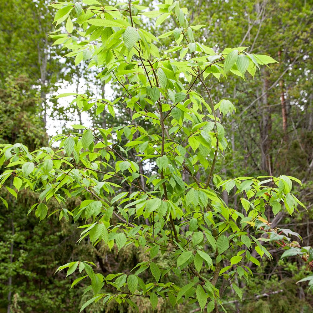 Flytta - Acer carpinifolium - avenbokslönn