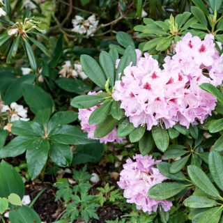 Rhododendron 'Gräfin Sonja'