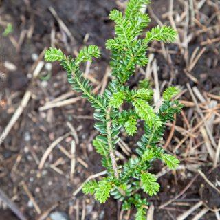 Taxus baccata 'Rushmore' - idegran