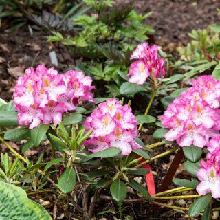 Rhododendron 'Junifee'