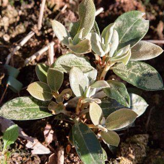 Rhododendron circinnatum/luciferum