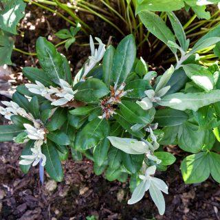 Rhododendron Yakushimanum-grp 'Ken Janeck'