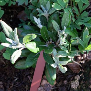 Rhododendron Smirnowii-grp 'Crete'