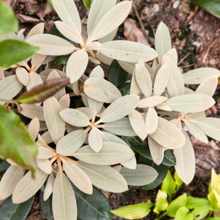 Rhododendron Yakushimanum-grp 'Viking Silver'