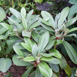 Rhododendron (yak x rex) x rex