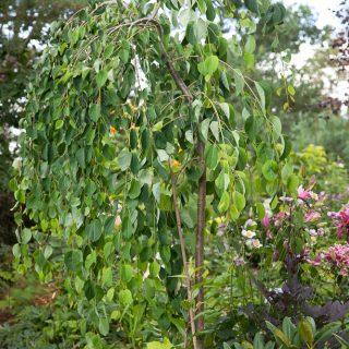 Cercidiphyllum japonicum v. magnificum 'Pendula' - hängkatsura