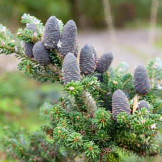 Abies koreana 'Brevifolia' - koreagran