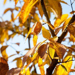 Acer carpinifolium - avenbokslönn